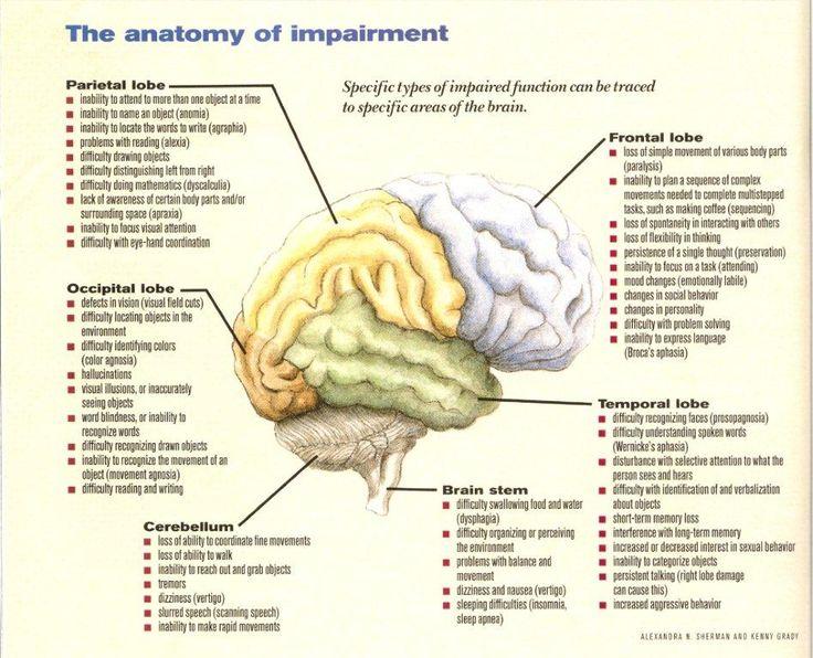 Drawn brains half Anatomy self Brain And the