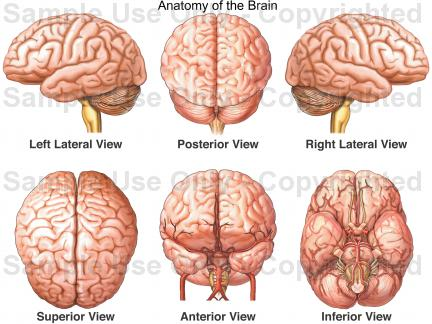 Drawn brains head anatomy Medical Anatomy Brain Anatomy