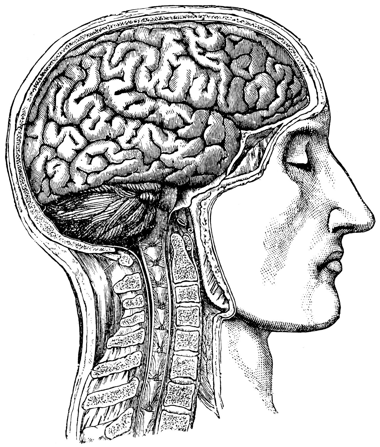 Drawn brains head anatomy 54  Human Anatomical Medical