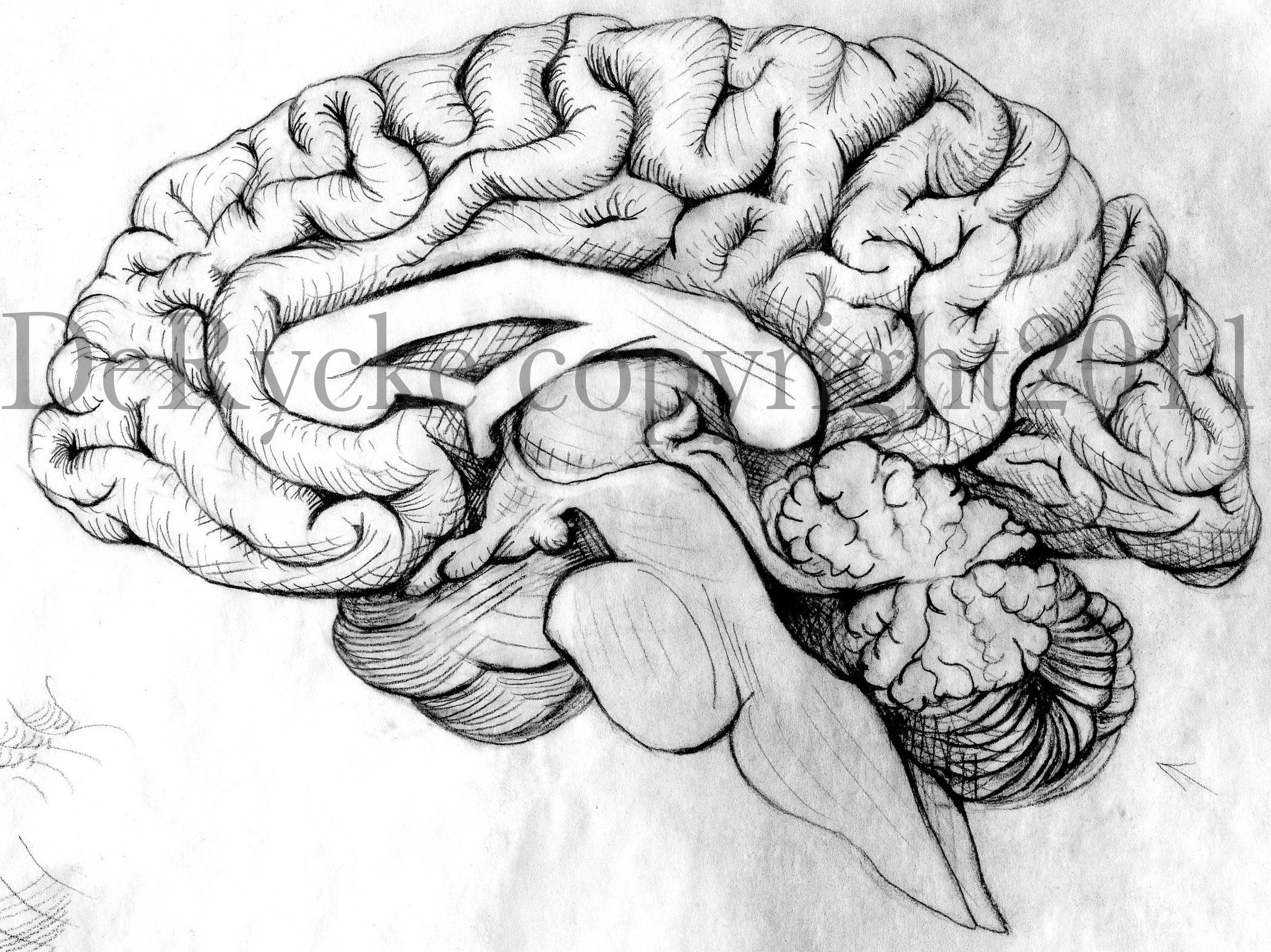 Drawn brains head anatomy Is  Anatomy Posted in