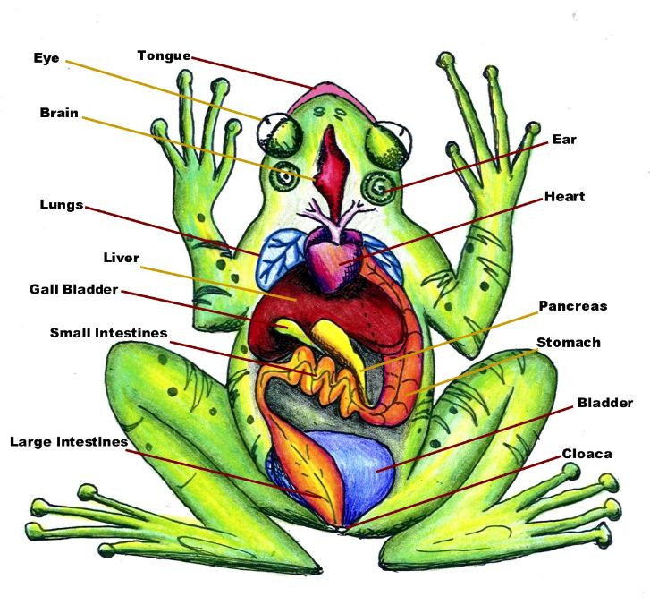 Toad clipart frog dissection #1