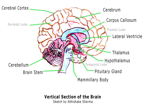 Drawn brains labeled part And of Functions Diagram Brain