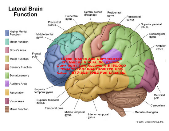 Drawn brains labeled part Label brain the of labeled