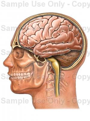 Drawn brains neck anatomy Medical Head Spinal Cord Lateral