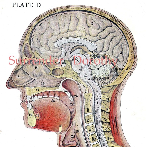 Drawn brains neck anatomy Lithograph Anatomy Cross  Brain