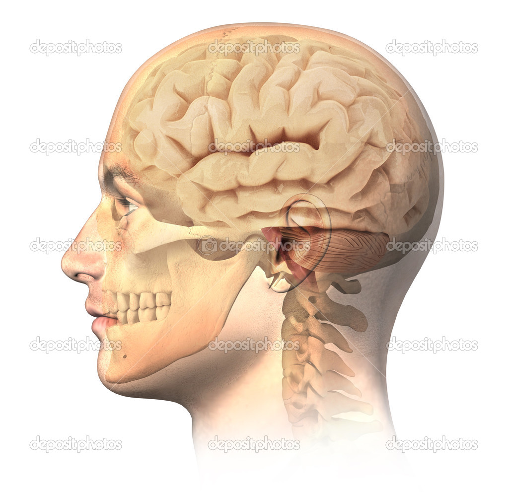 Drawn brains neck anatomy  and in skull depositphotos_25640525