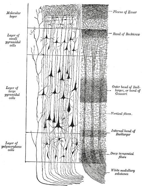 Drawn brains neopallium  Wikipedia Neocortex