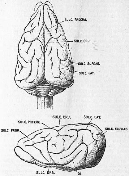 Drawn brains neopallium EB1911 Britannica/Brain Ratel online