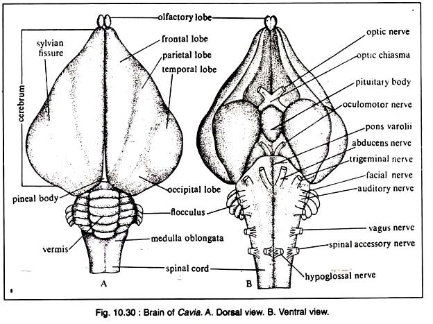 Drawn brains neopallium Brain Nervous Digestive  Cavia