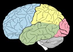 Drawn brains neopallium Lobes Wikipedia NL the cortex