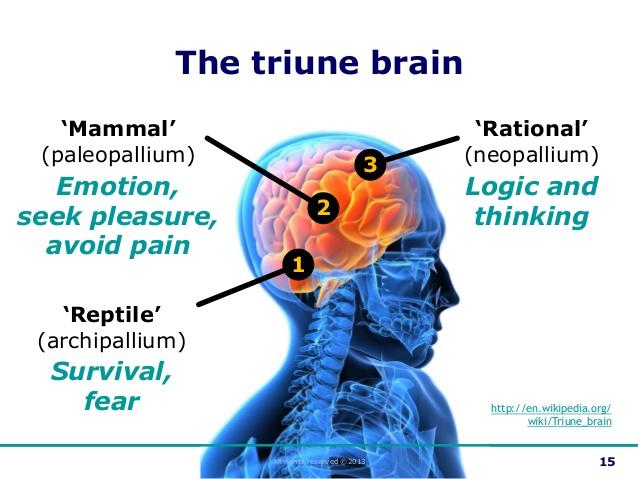 Drawn brains neopallium  Did brain cortex brain