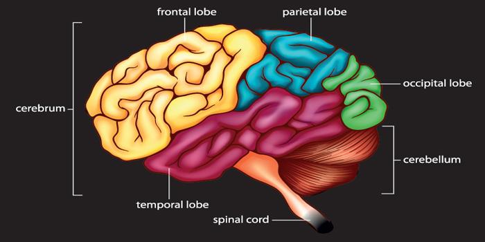Drawn brains neopallium CerebralCortex143999170 Brain — Cerebral the