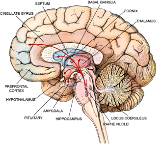 Drawn brains neopallium The Evil Research of Of