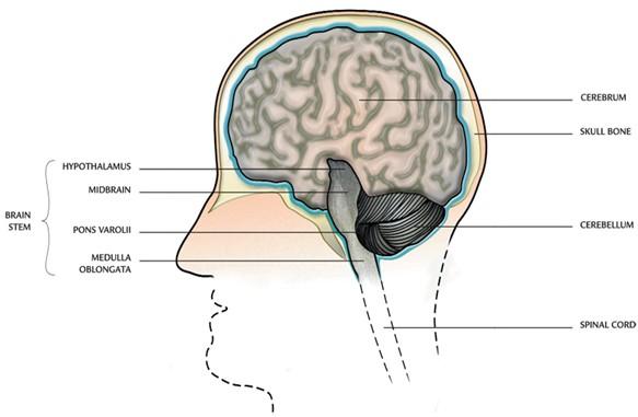 Drawn brain smart Nervous brain main Structure: System: