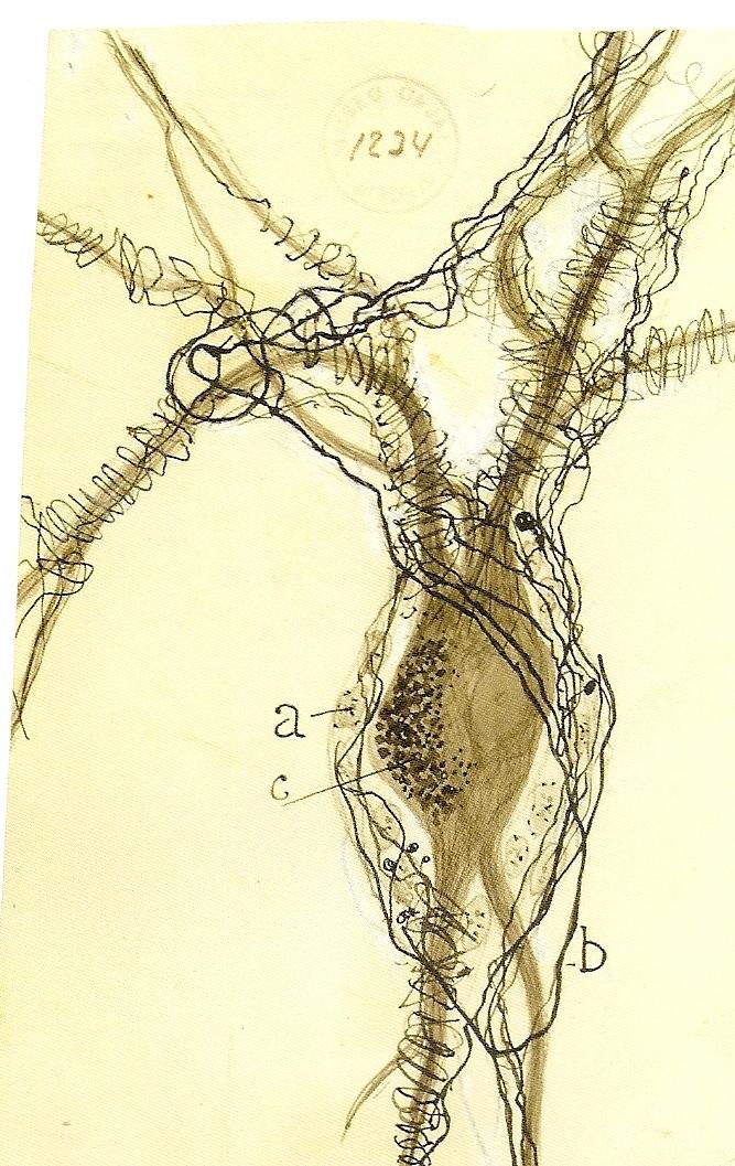 Drawn brains neuroscience Drawn Cajal modern Neuroscience by