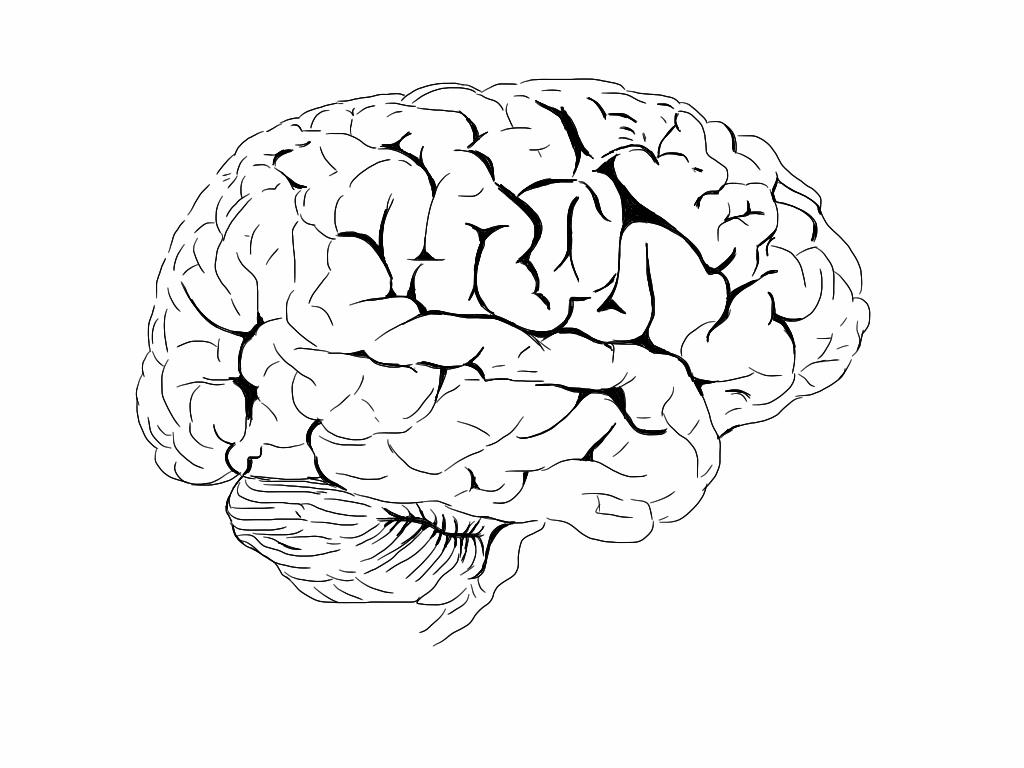 Drawn brains neuroscience Amazing Neuroscience News and Stories