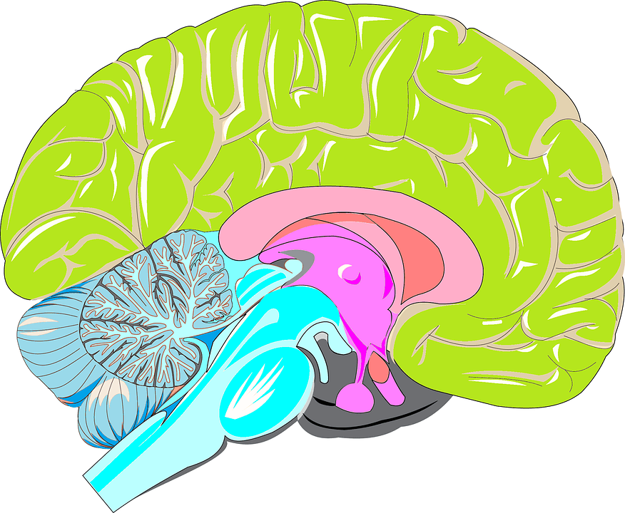 Drawn brains neuroscience The In Size Matters drawing