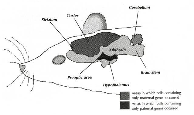 Drawn brains normal Maybe! Drawing: Brain? L Psychology