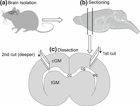 Drawn brains not Of to  Schematic experimental