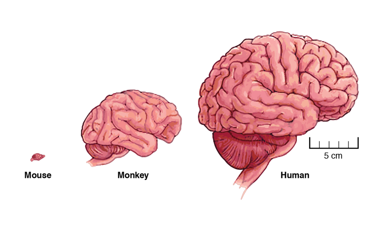 Drawn brains pink brain Of figure brains Institute Our