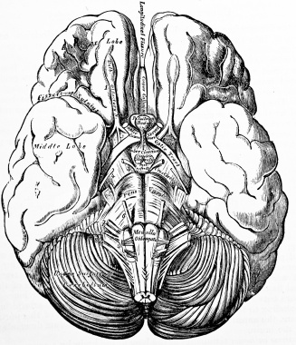 Drawn brains public domain Public illustrations Search medical Search