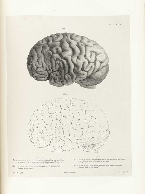 Drawn brains public domain Anatomical illustration a domain brain