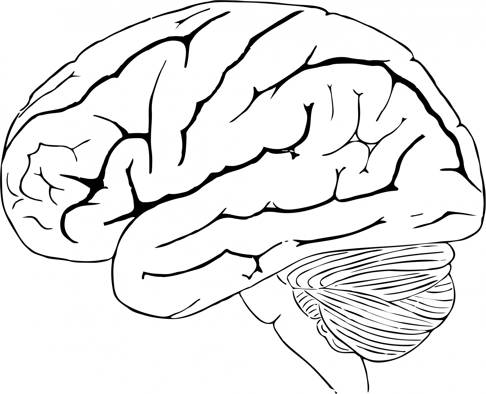 Drawn brains public domain Human Domain Photo Stock Brain