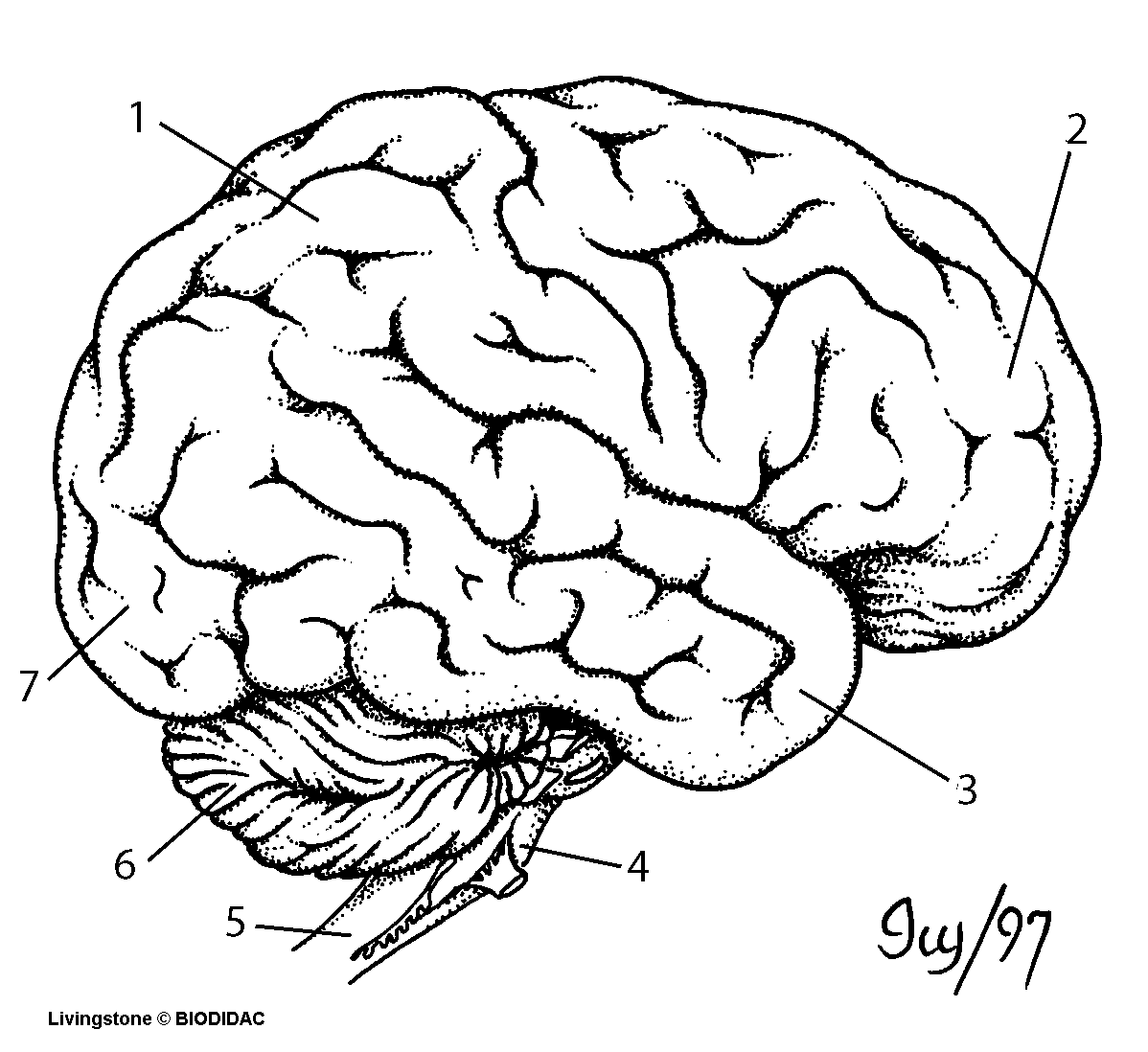 Drawn brains unlabeled lateral System The Nervous