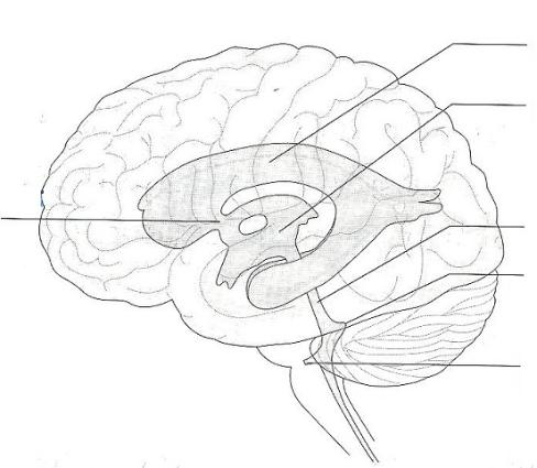 Drawn brains unlabeled lateral 19: of image  and