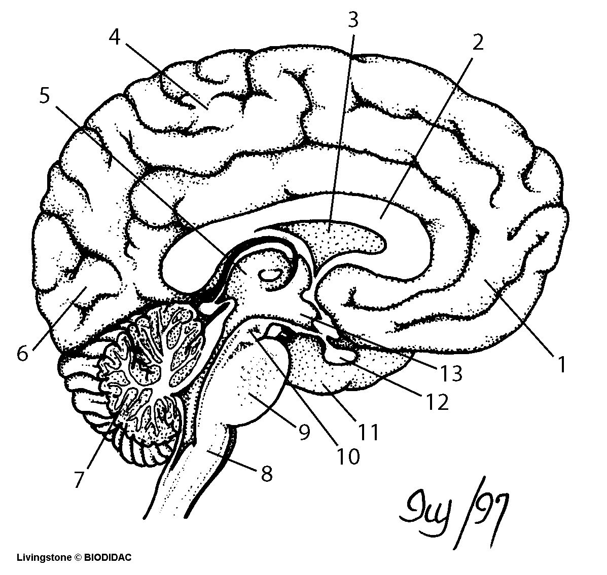 Drawn brains unlabeled lateral Brain Anatomy Of With Organ
