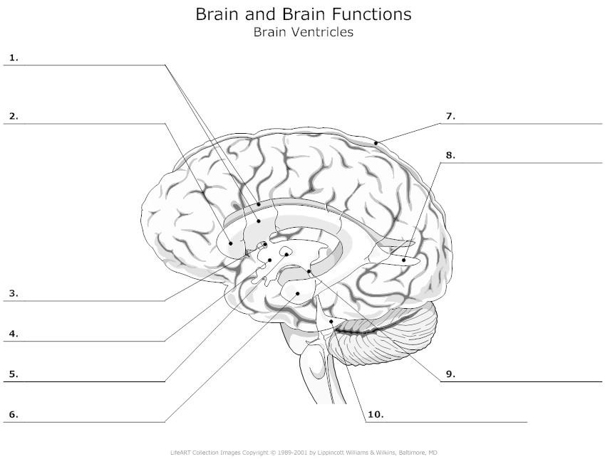 Drawn brains unlabeled lateral  System diagram term Psychology