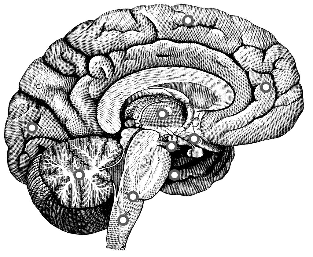Drawn brains unlabelled  Interactive Michael's ThingLink Brain