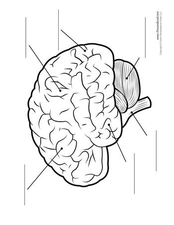 Drawn brains unlabelled Vall Brain Brain de BW