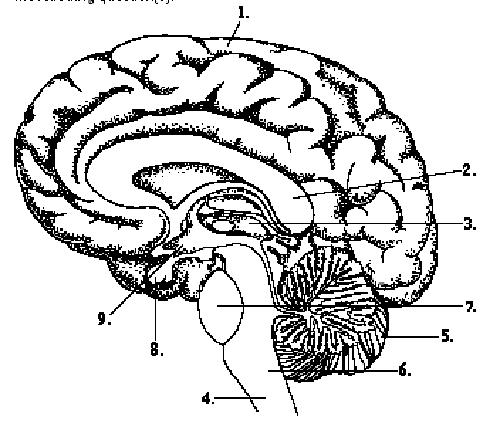 Drawn brains unlabelled Of Human Chart Ear Human