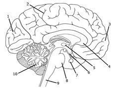 Drawn brains unlabelled SLP NervesBrain cranial  and