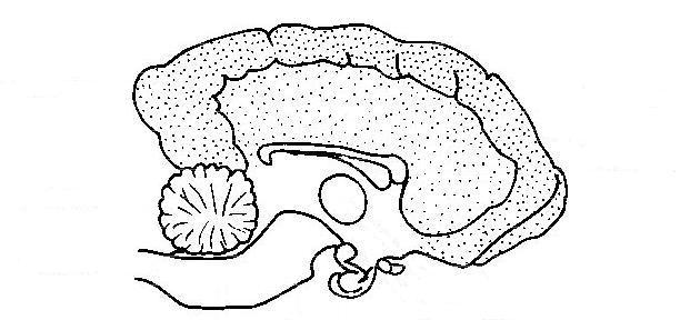 Drawn brains unlabelled System brain Anatomy  Animals/Nervous