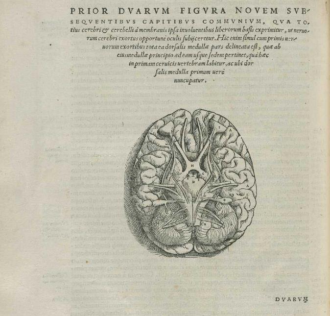 Drawn brains vesalius De Andreas Andreas Humani De