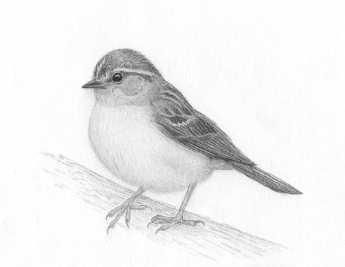 Drawn sparrow detailed 25+ drawings Bird sketches Blogger
