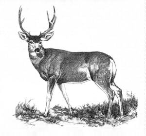 Drawn buck Jpg Big big_buck_t c Buck