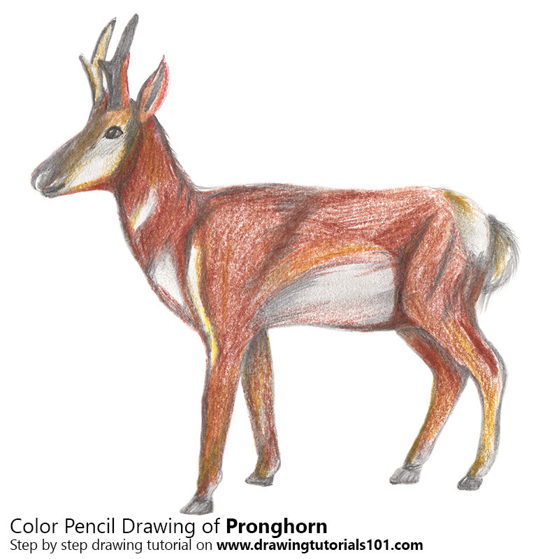 Drawn buck drinking water Of cabri Pencils Best Color