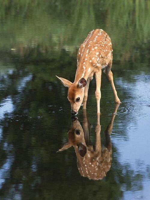 Drawn buck drinking water Of on la animals de