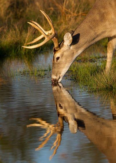 Drawn buck drinking water Deer Sharon  pauses 25+