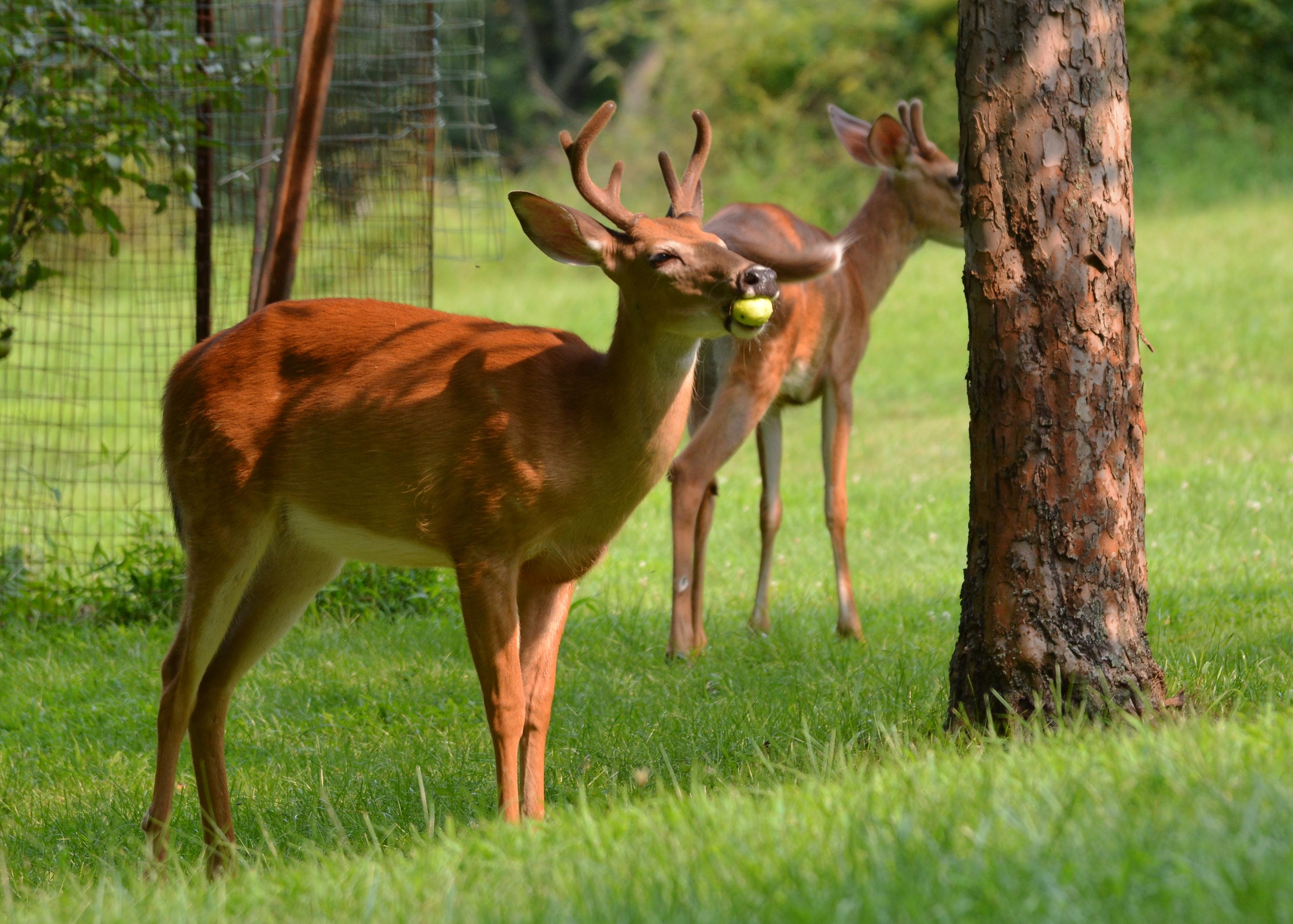 Drawn buck eating BuckApple7Aug14#064Ec5x7 deer Pics food habits