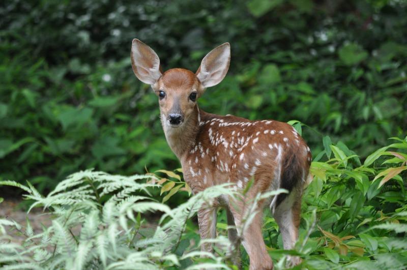 Drawn buck eating How to Deer Attract Deer