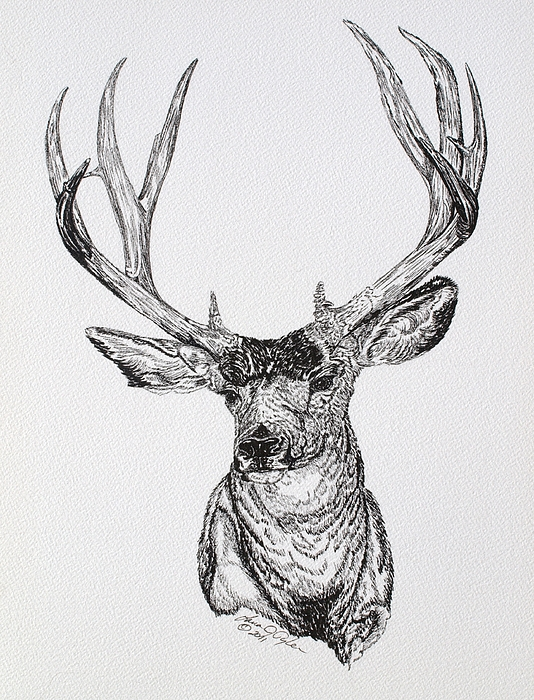 Drawn buck pen and ink Tyler Lana Deer Animal by