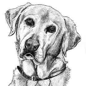 Drawn buck pen and ink Grimes by Buck Ink labrador