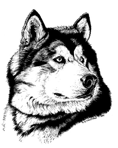 Drawn buck pen and ink Malamute ILLUSTRATION dog Portraits ink