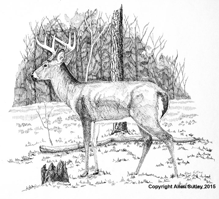 Drawn buck pen and ink Ink & in artist Pen