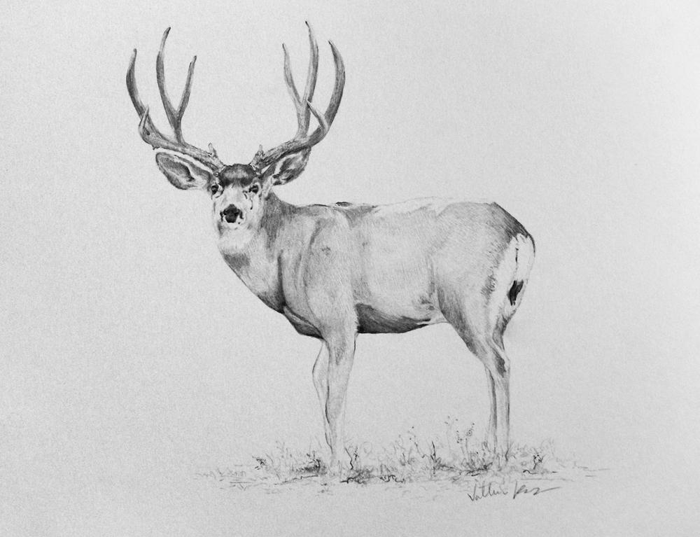 Drawn buck pencil sketch — Vallerie Drawings: Mule Kunz