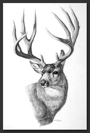 Drawn buck pencil sketch Parson Studio French Leon Parson